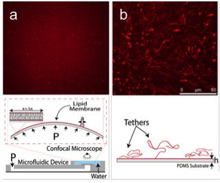 Confined lipid membranes